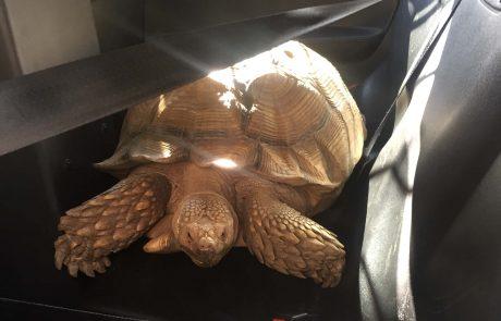 Large tortoise in back of patrol vehicle